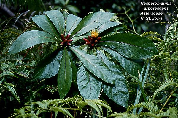 hesperomannia arborescens