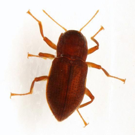 heterelmis comalensis