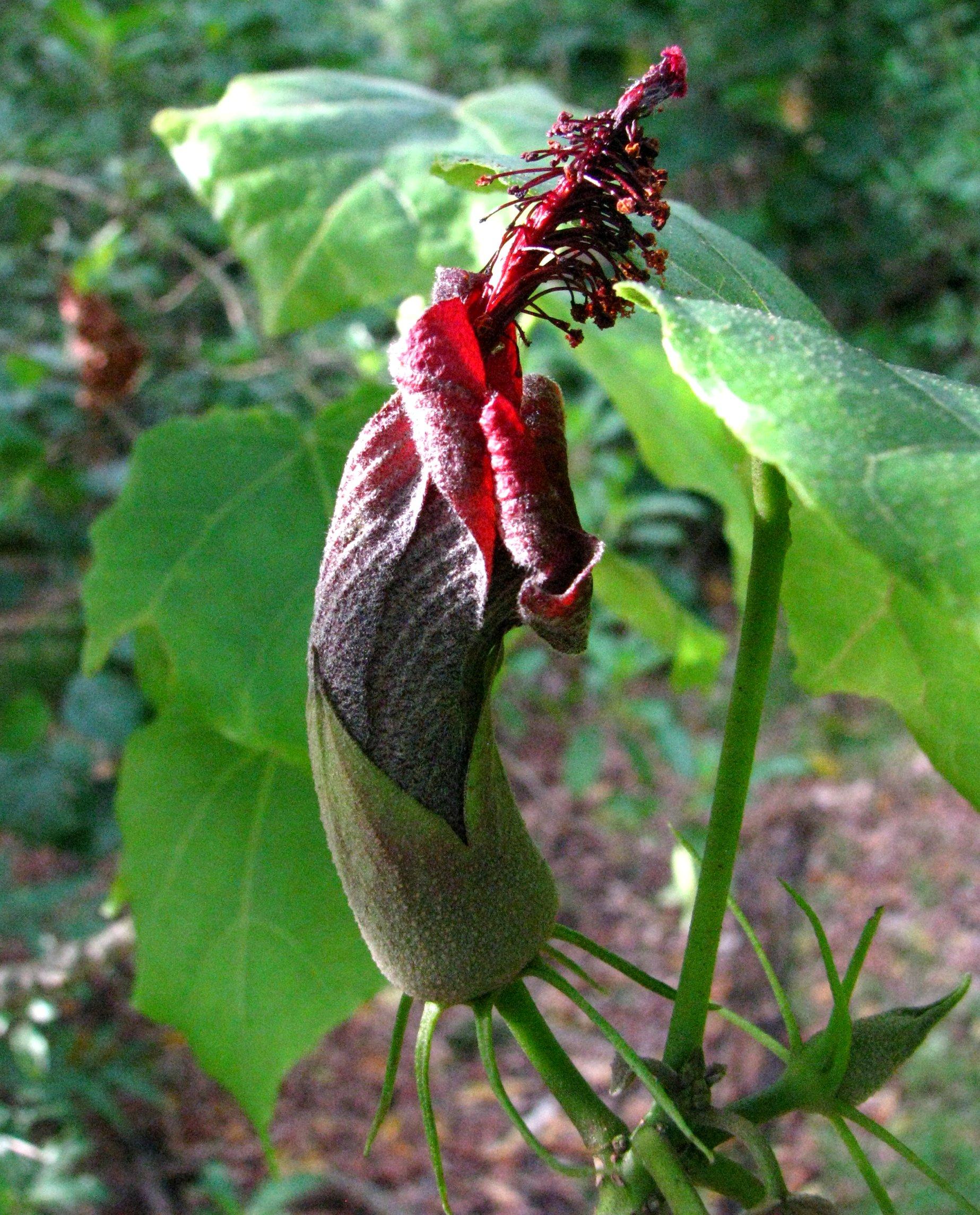 hibiscadelphus giffardianus