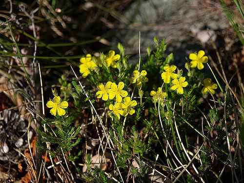 hudsonia montana