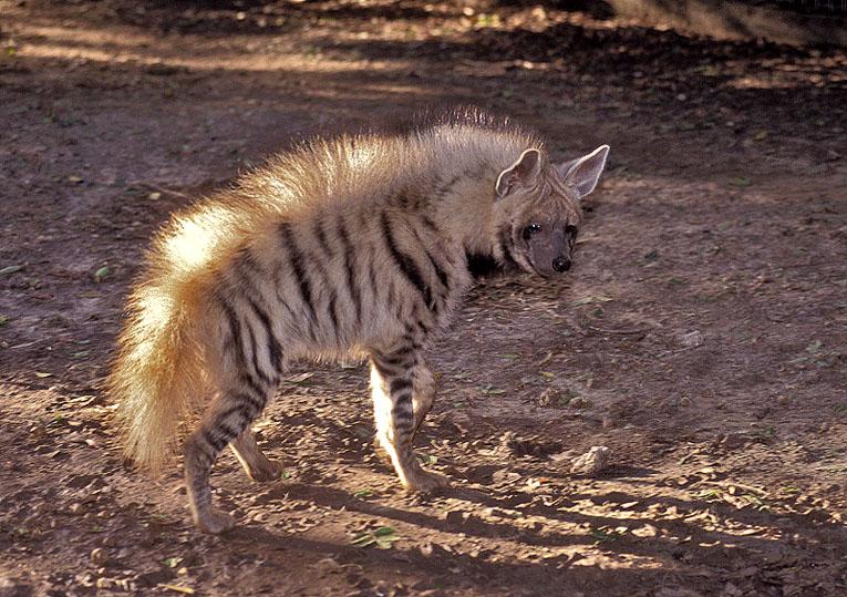 hyaena hyaena barbara