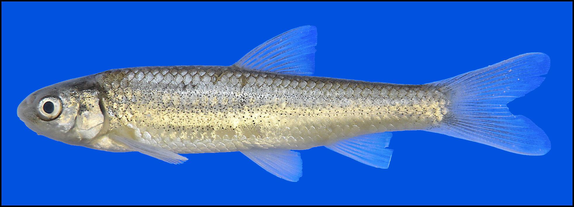 hybognathus amarus