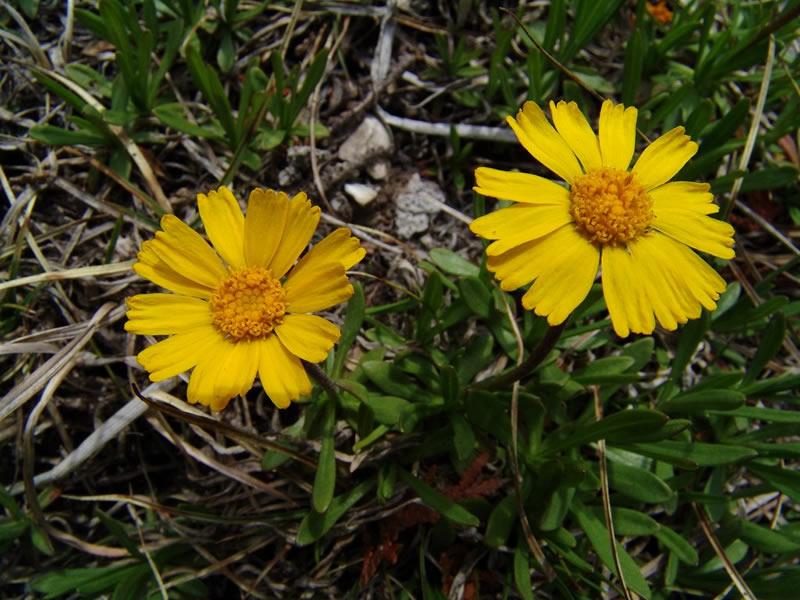 hymenoxys herbacea