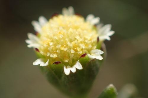 hymenoxys texana