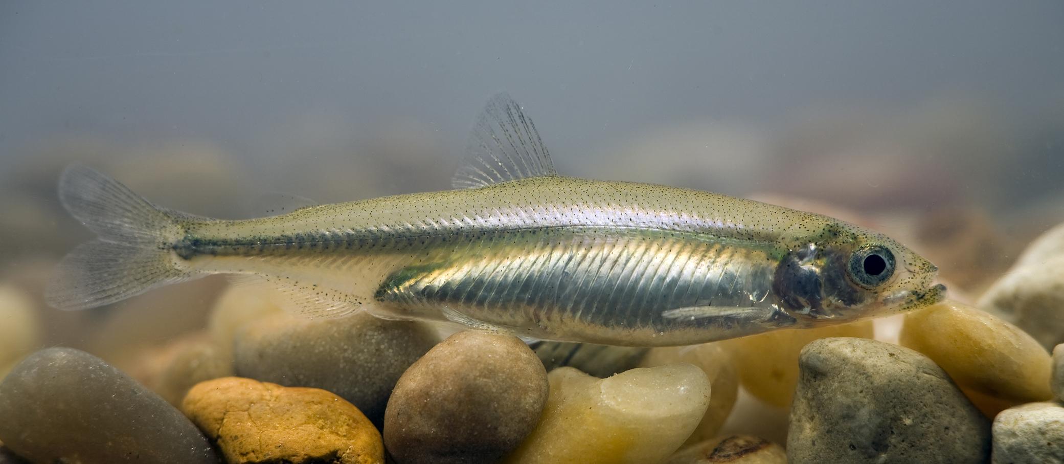hypomesus transpacificus