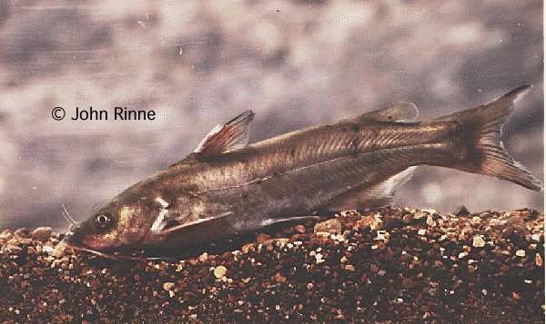ictalurus pricei