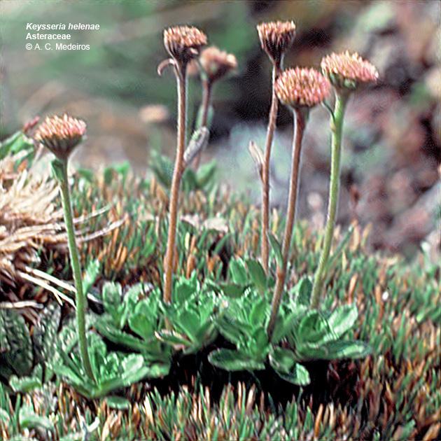 keysseria lagenifera helenae