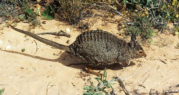 lagostrophus fasciatus
