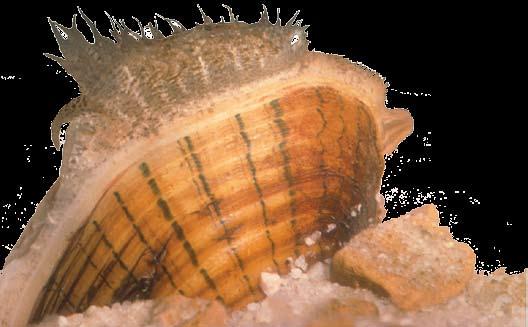 lampsilis altilis
