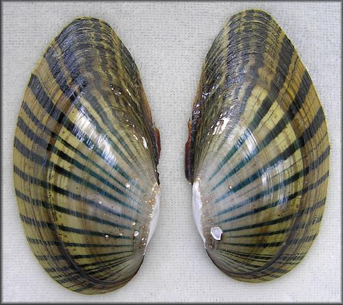 lampsilis subangulata