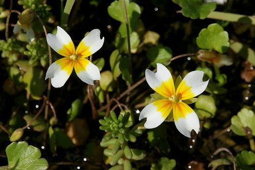 leavenworthia crassa