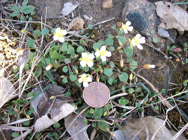 leavenworthia exigua laciniata