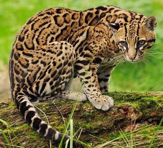 leopardus felis pardalis