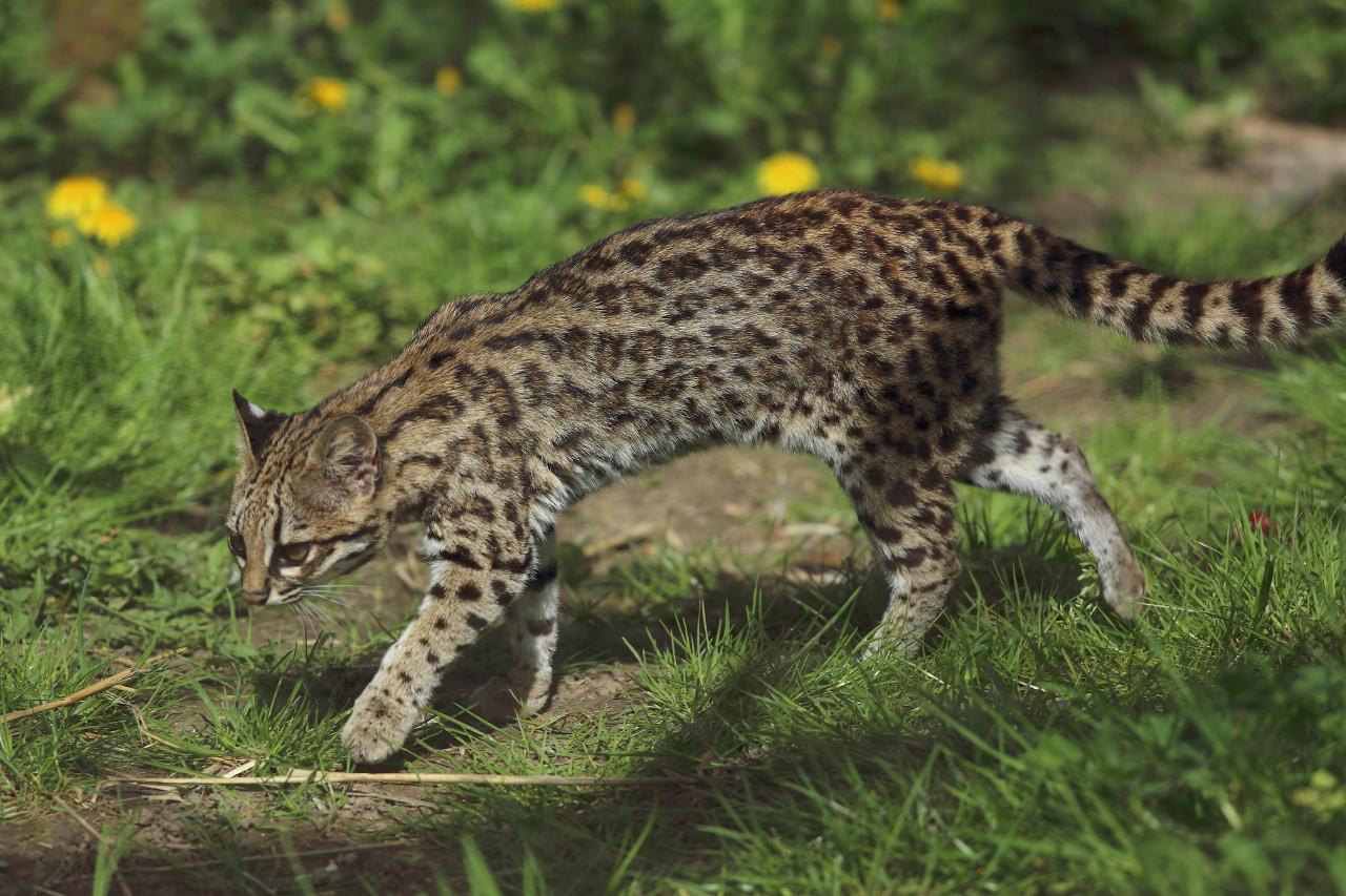 leopardus felis tigrinus