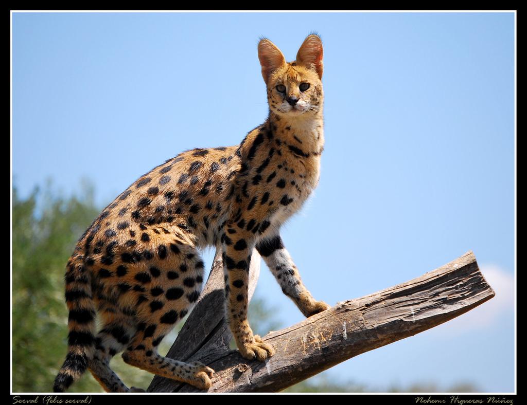 leptailurus felis serval constantina