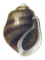 leptoxis plicata