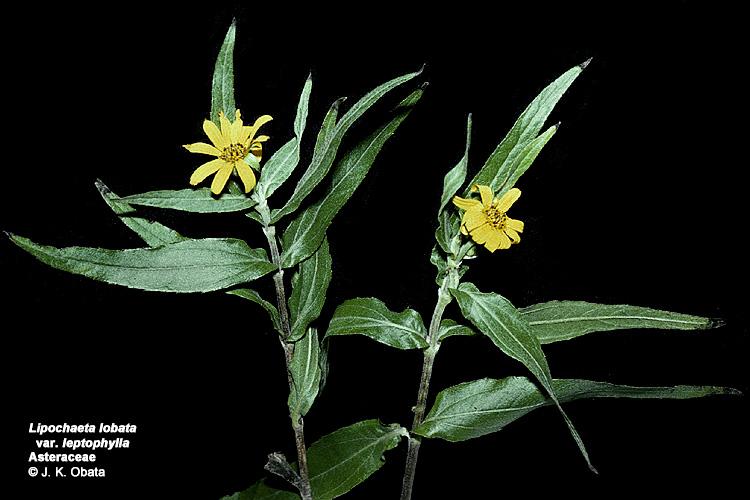 lipochaeta lobata var leptophylla
