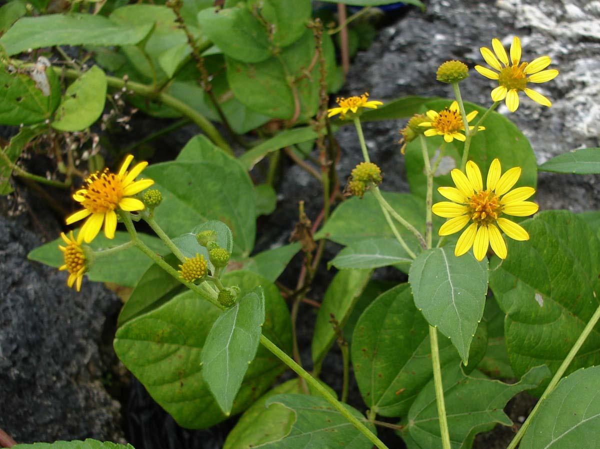 lipochaeta waimeaensis