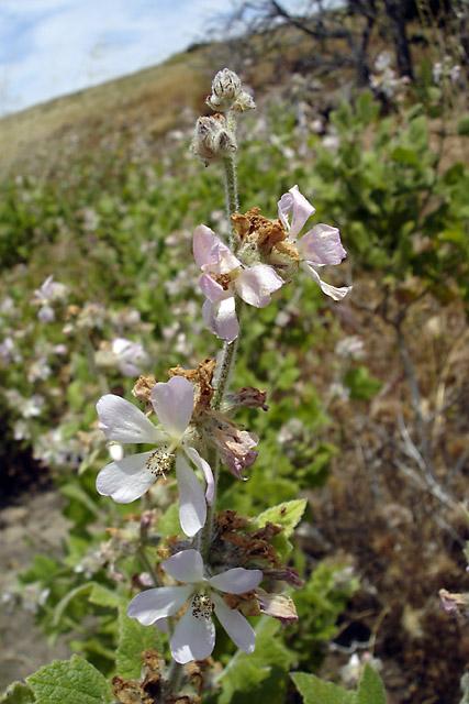 Malacothamnus clementinus, San Clemente Island, SBBG Research 2005