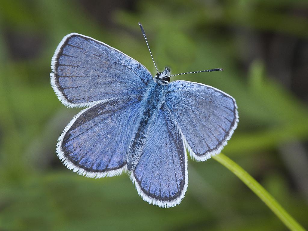 Karner Blue Butterfly (Lycaeides melissa samuelis)Allegan County, Michigan