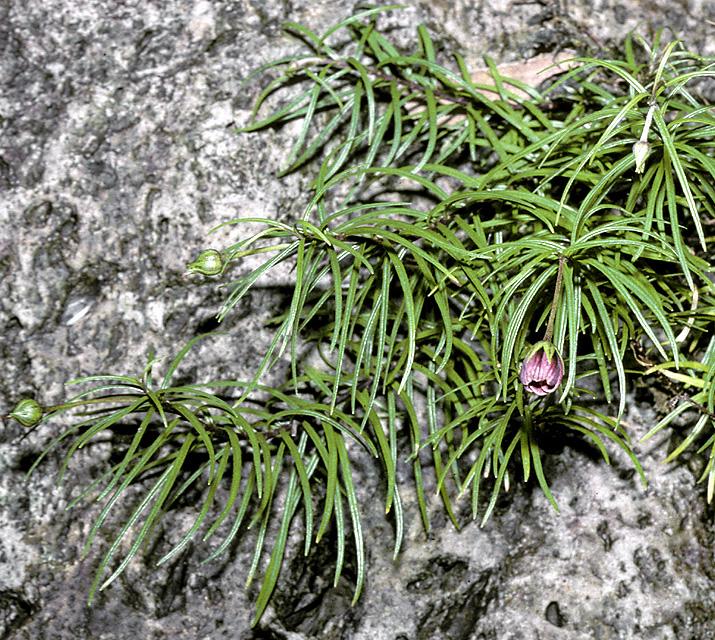 lysimachia filifolia