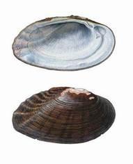 medionidus simpsonianus