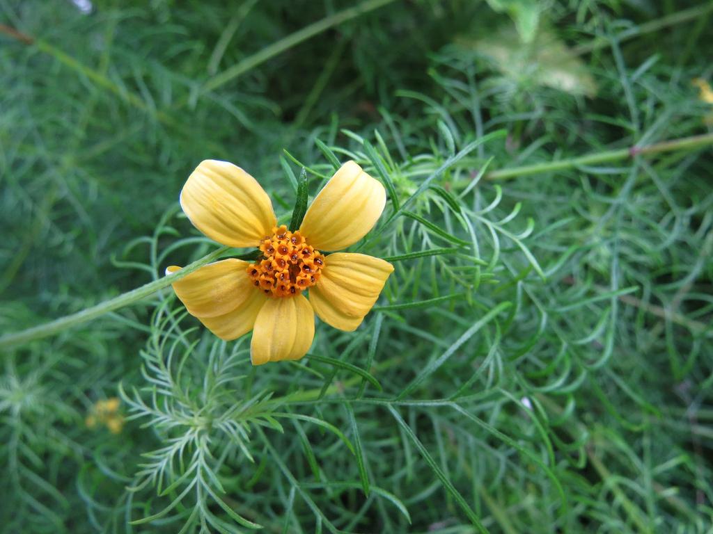 melanthera tenuifolia