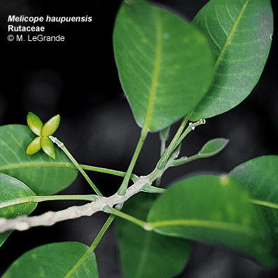 melicope haupuensis