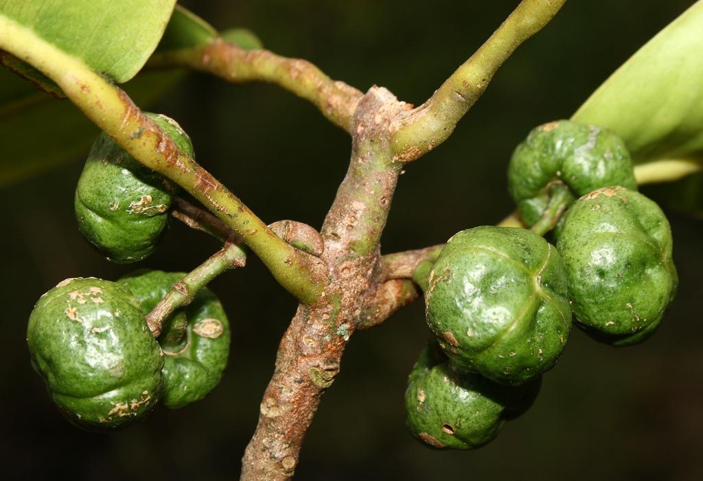 melicope ovalis