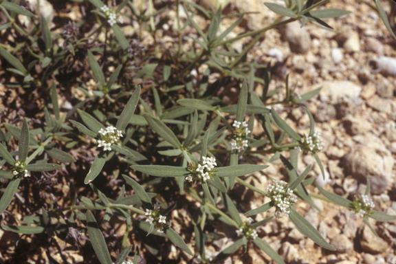 mitracarpus maxwelliae