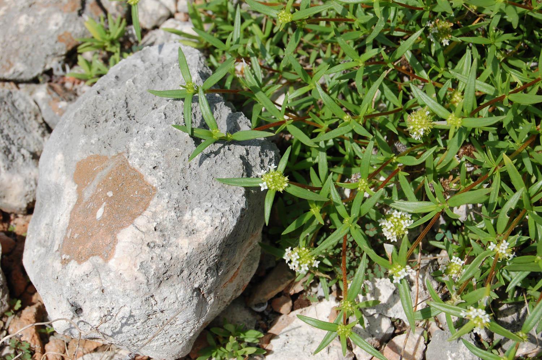 mitracarpus polycladus