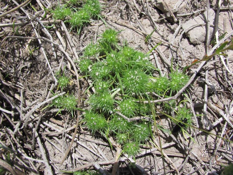 navarretia leucocephala ssp plieantha