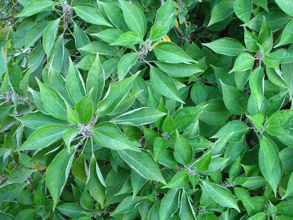 neraudia angulata