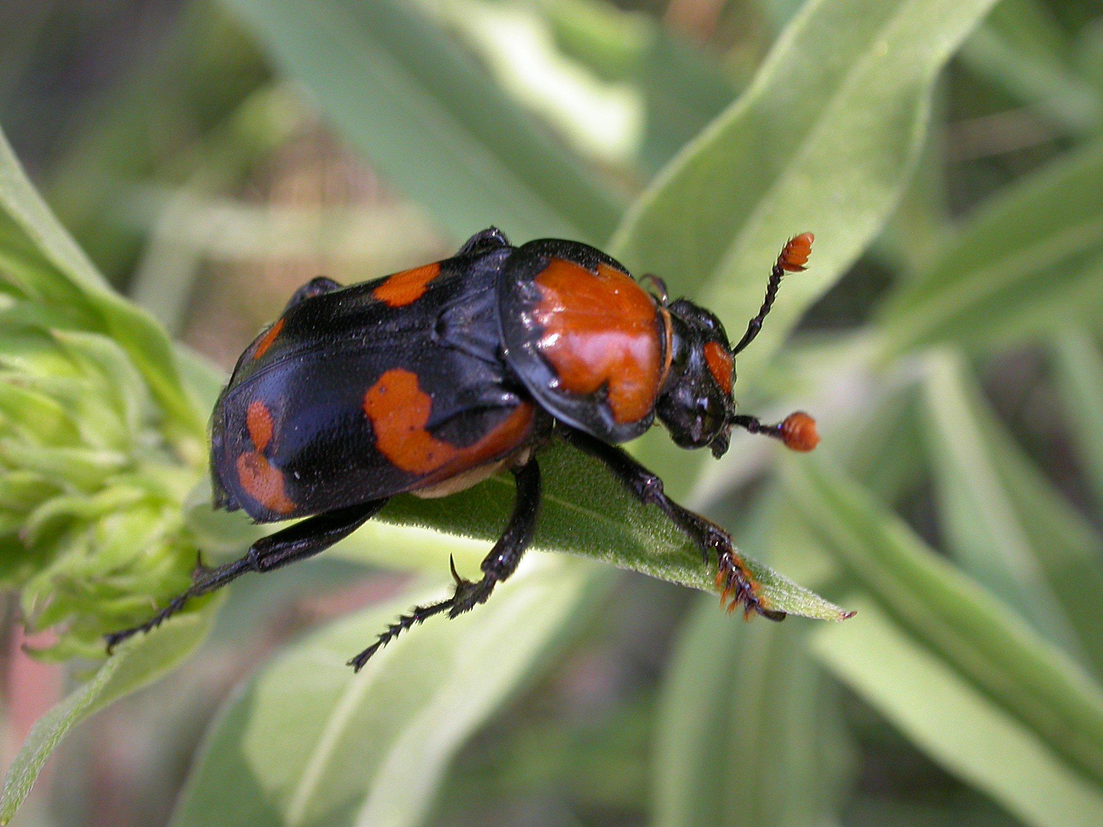 nicrophorus americanus