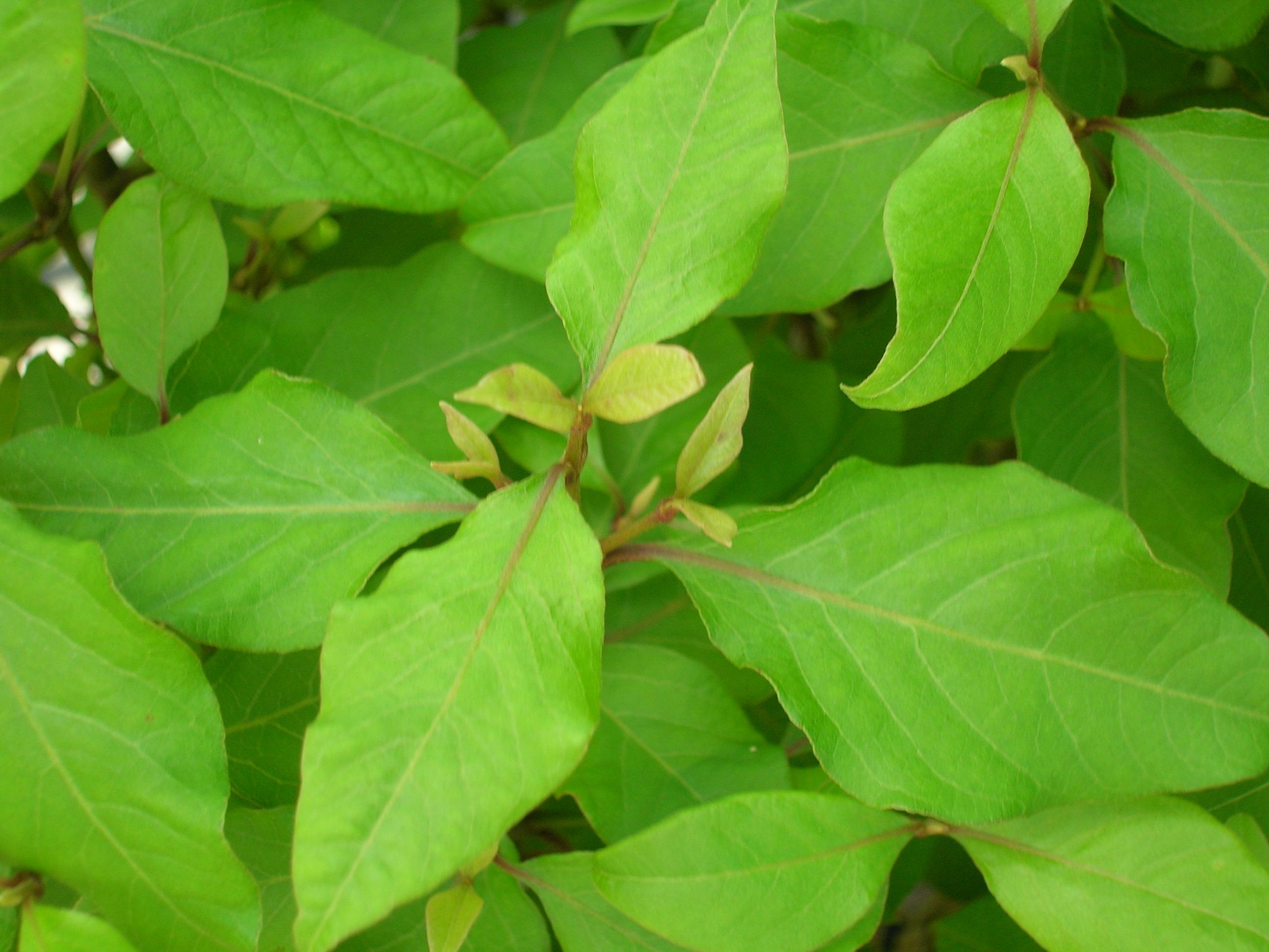 nototrichium humile
