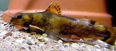 noturus flavipinnis