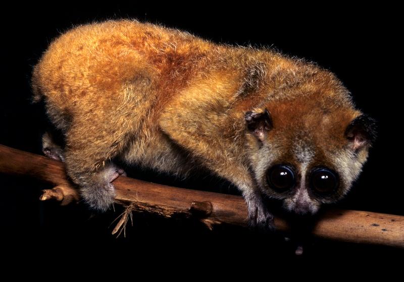 nycticebus pygmaeus