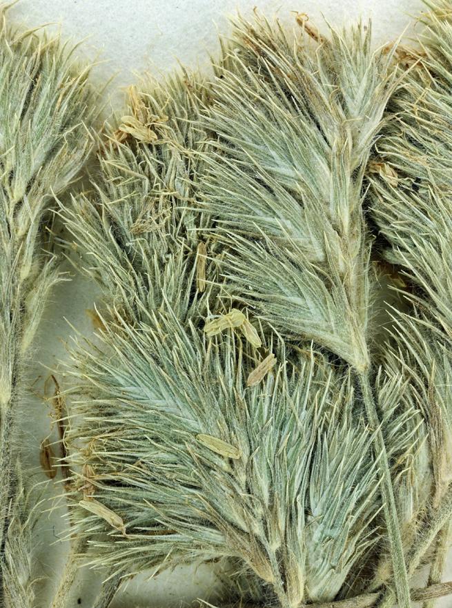 orcuttia inaequalis