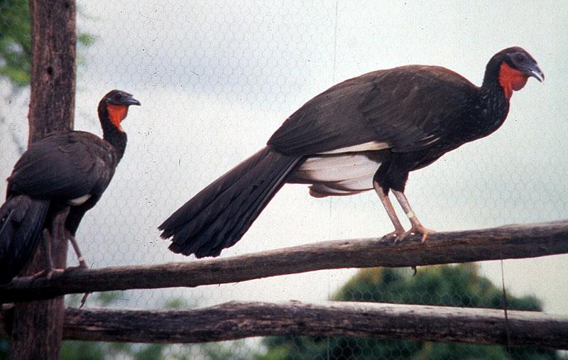 penelope albipennis