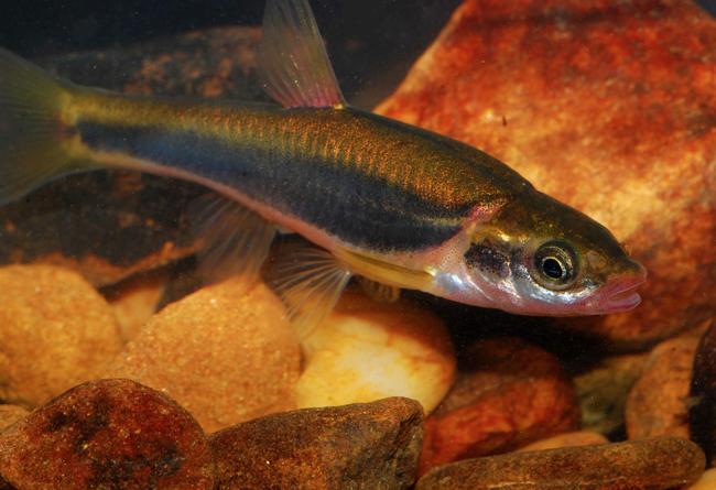 phoxinus cumberlandensis