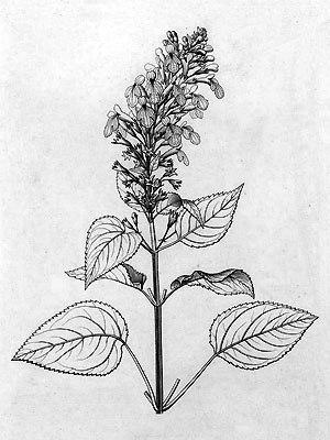 phyllostegia glabra var lanaiensis
