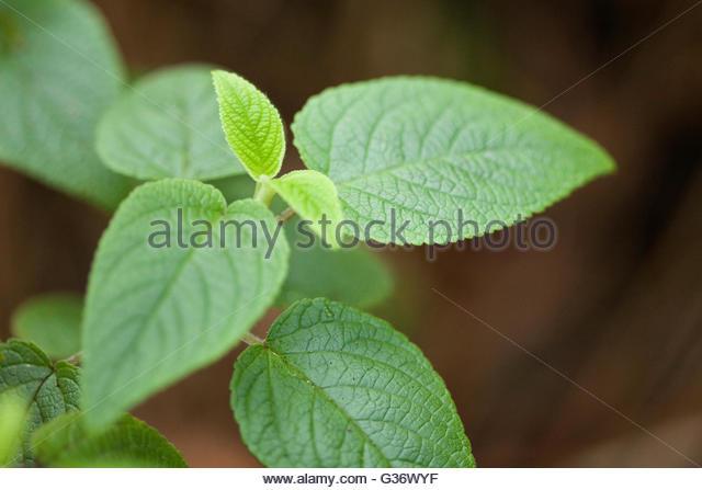 phyllostegia pilosa