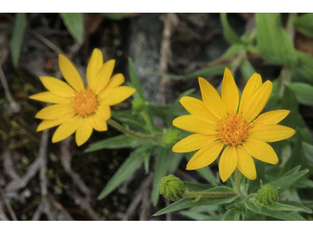 pityopsis ruthii