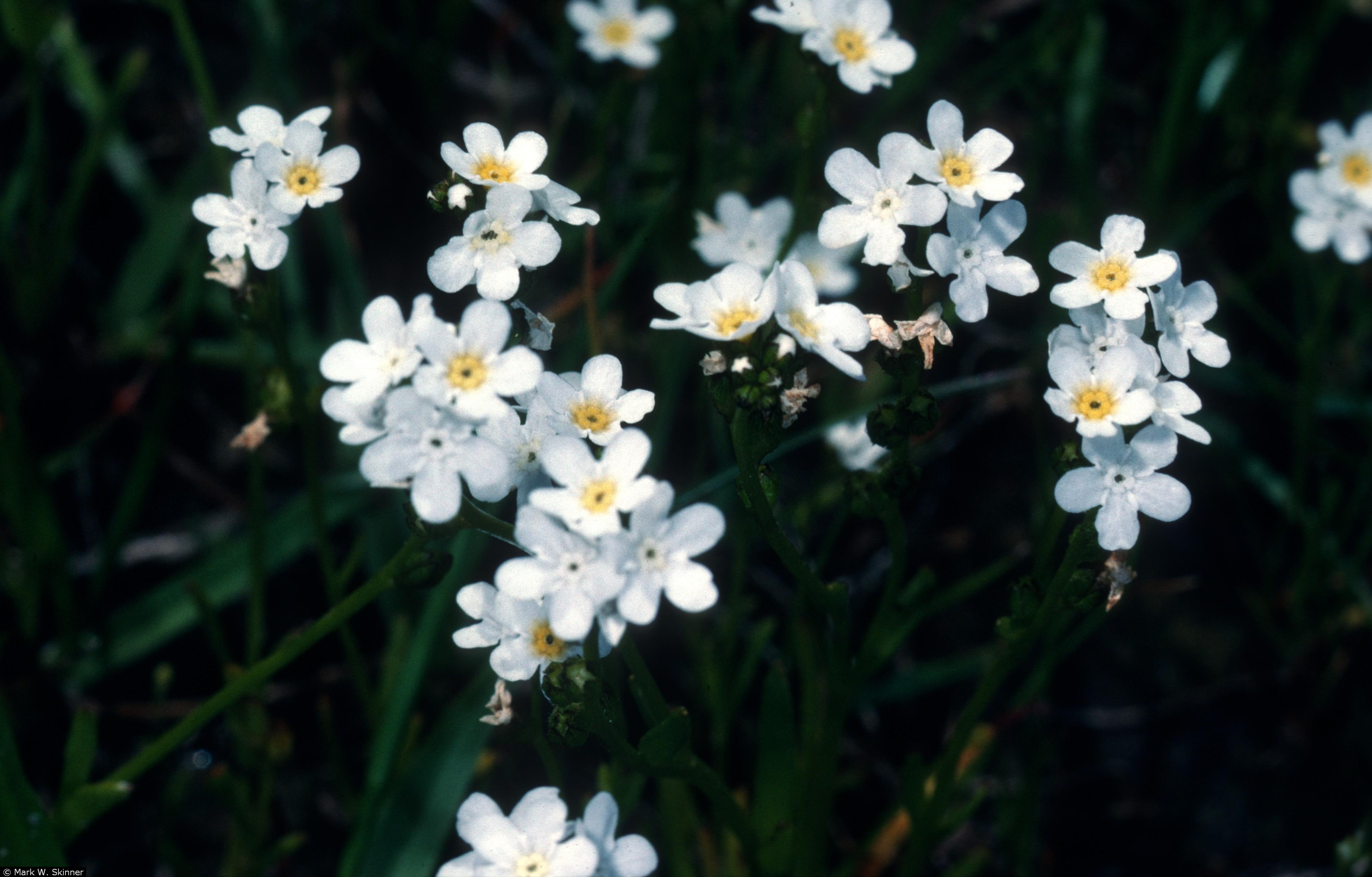 plagiobothrys strictus