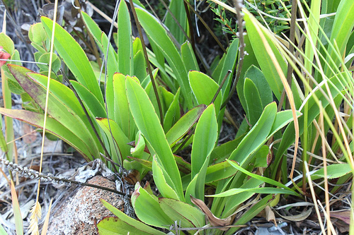 plantago hawaiensis
