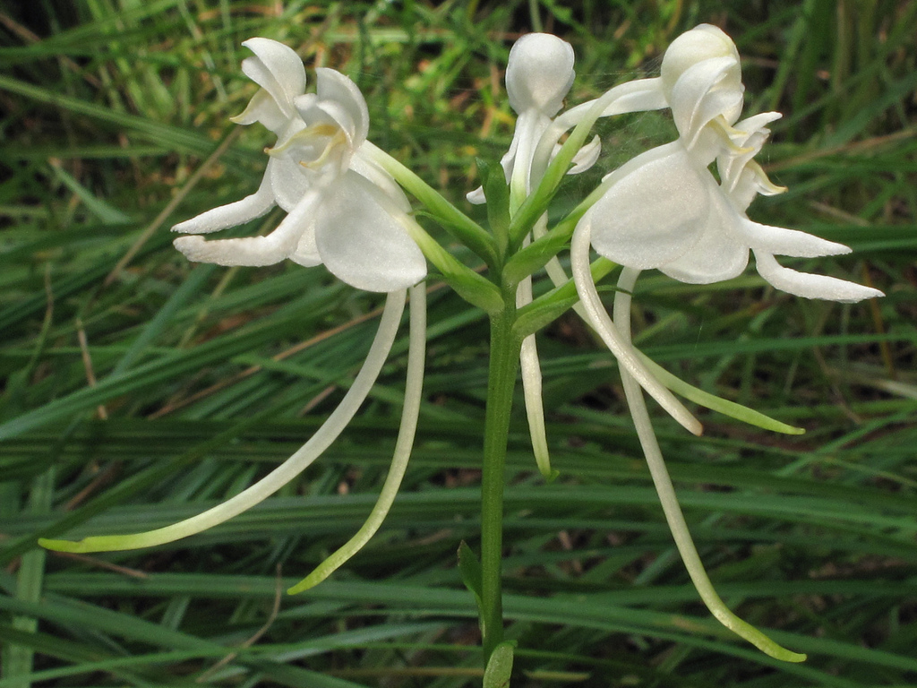 platanthera integrilabia