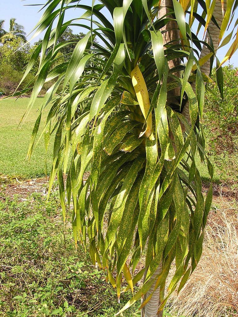 pleomele hawaiiensis
