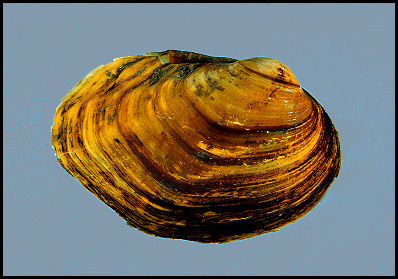 plethobasus cyphyus