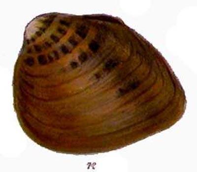 pleuronaia dolabelloides