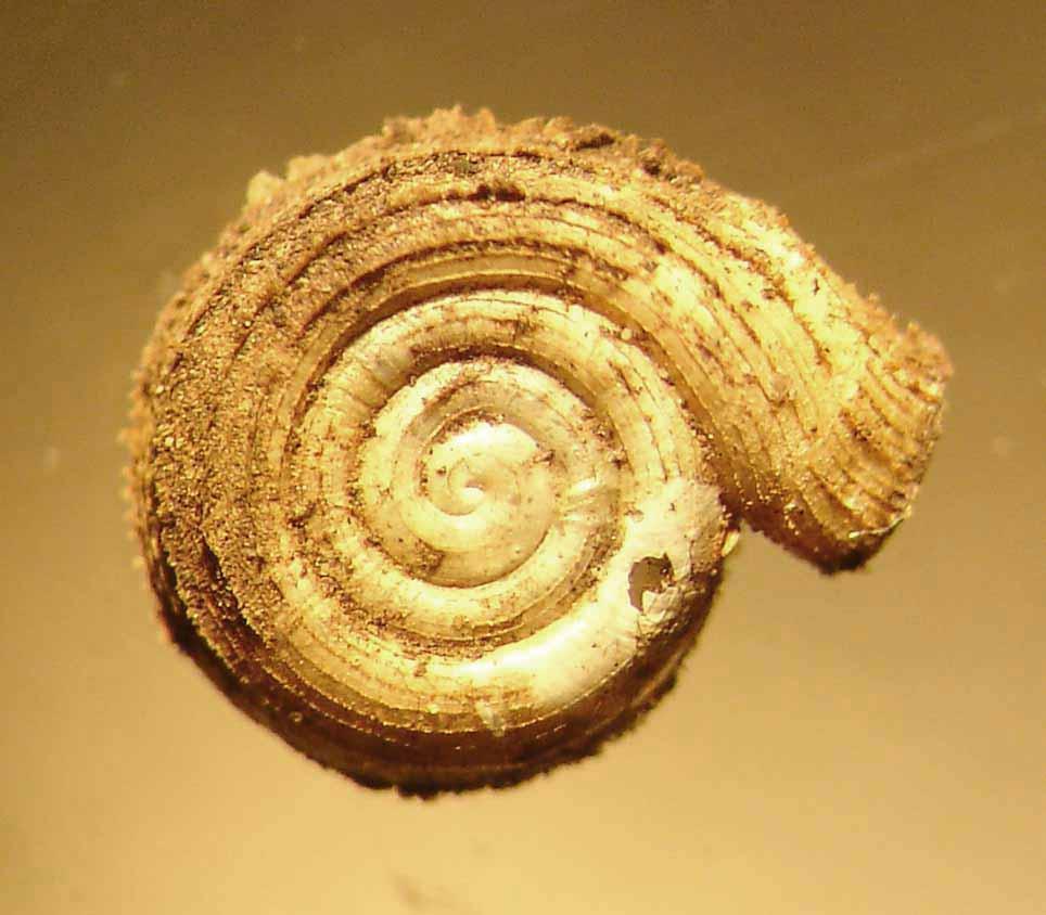 polygyriscus virginianus